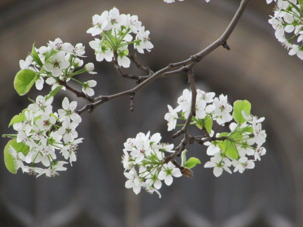 Columbia business school. Cherry blooms. Spring