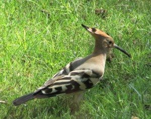 Long billed Hoopoe or a Crowned Woodpecker? You decide