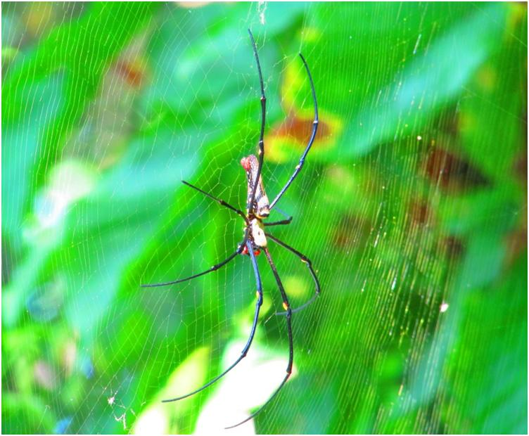 Singapore - Close encounters of 2nd kind - Golden Web Spiders at Forest Top
