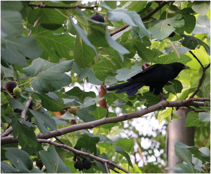 The call of the Koel (read: Koyel)