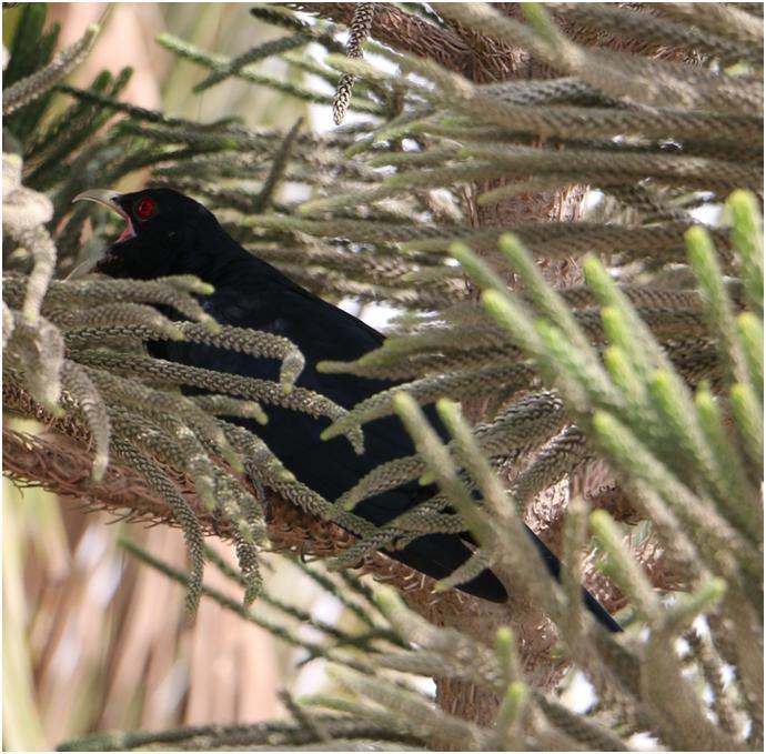 Koel-song-bird