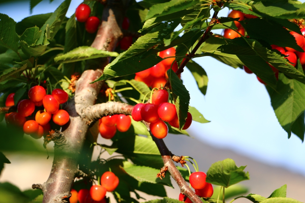 Gilgit-Serena-cherries-2