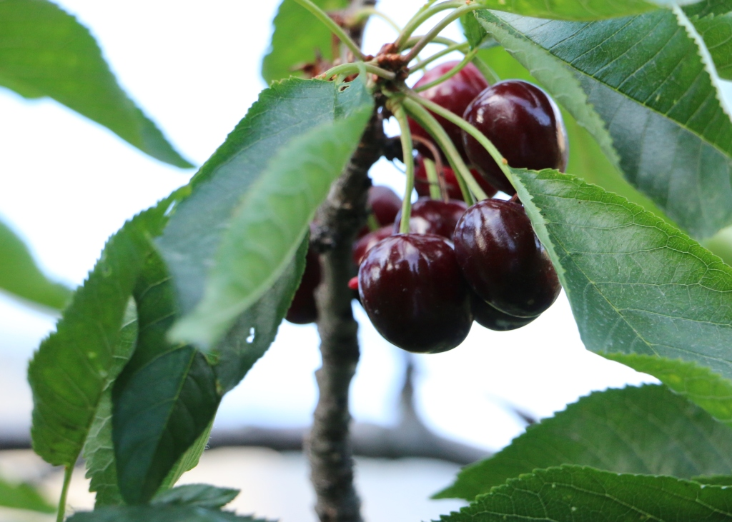 Gilgit-Serena-cherries-3