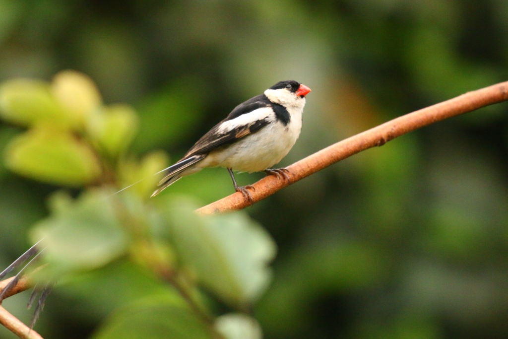 Long-tailed-two-sm