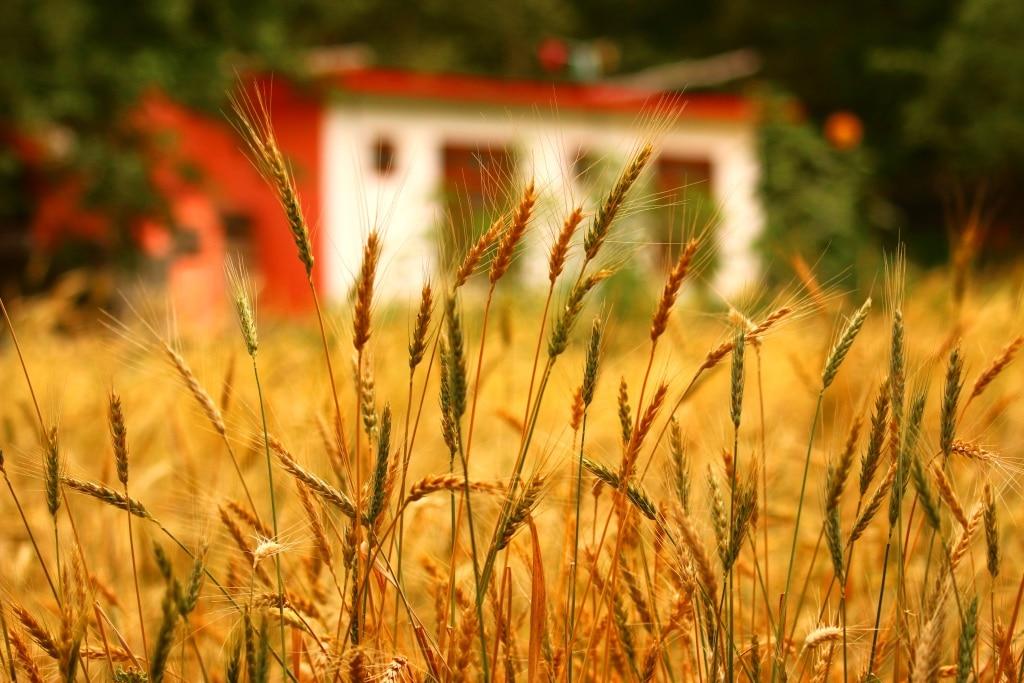 skardu-wheat-fields-2-sm