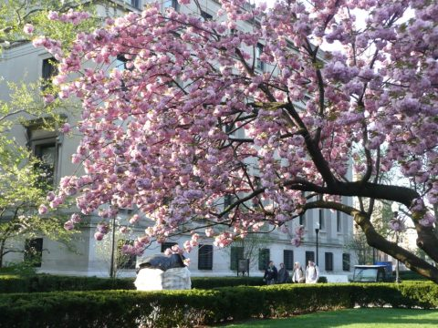Magnolia-sunlit-Columbia-University
