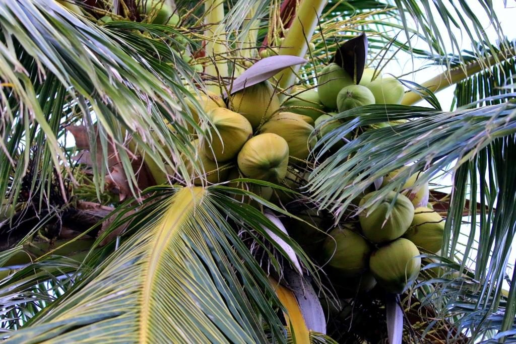 Koh Samui - Nothing beats a fresh cold coconut by the beach